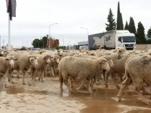 Paso de ovejas por Manzanares - noviembre 2018